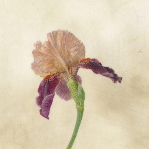 Illustrating petaloid monocots