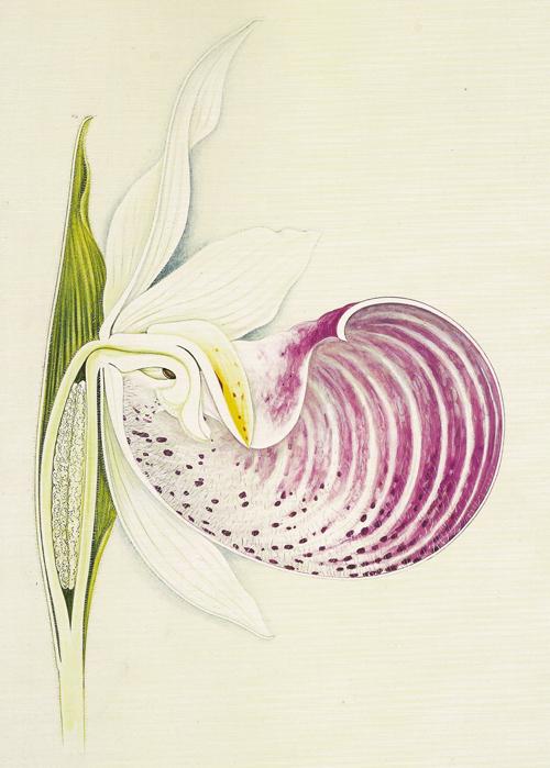 Cypridedium reginae by Arthur Harry Church watercolour illustration lady's slipper orchid