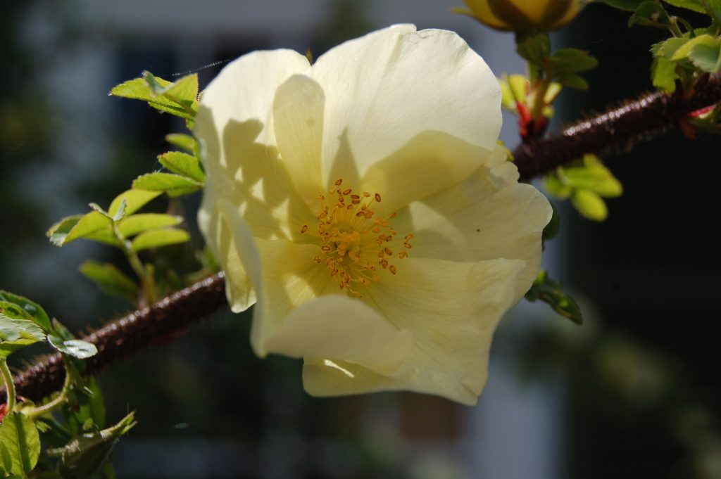 Rosa x pteragonis 'Cantabrigiensis'. A pale yellow rose.