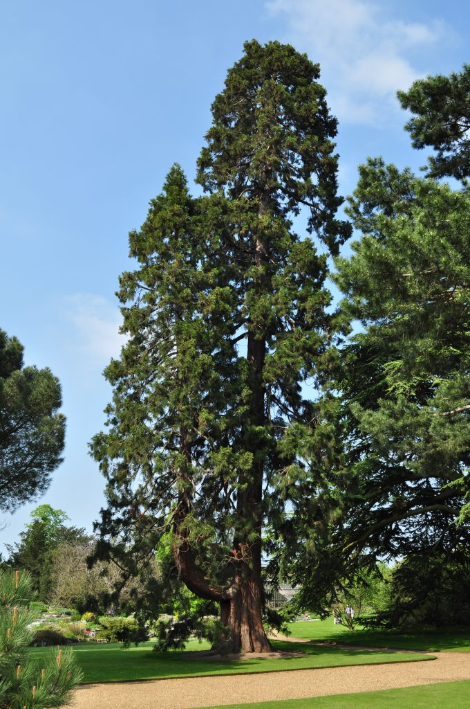 Sequoiadendron giganteum, on the Main Walk.