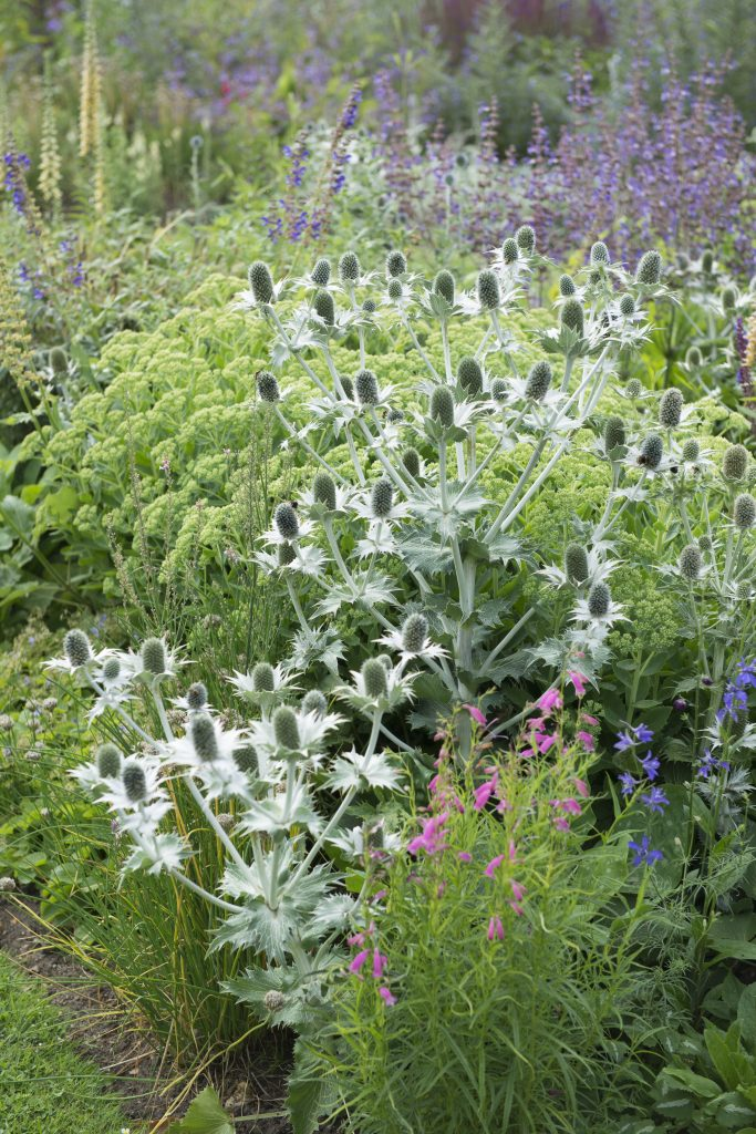 The structural, pale stems and heads of Eryngium giganteum.