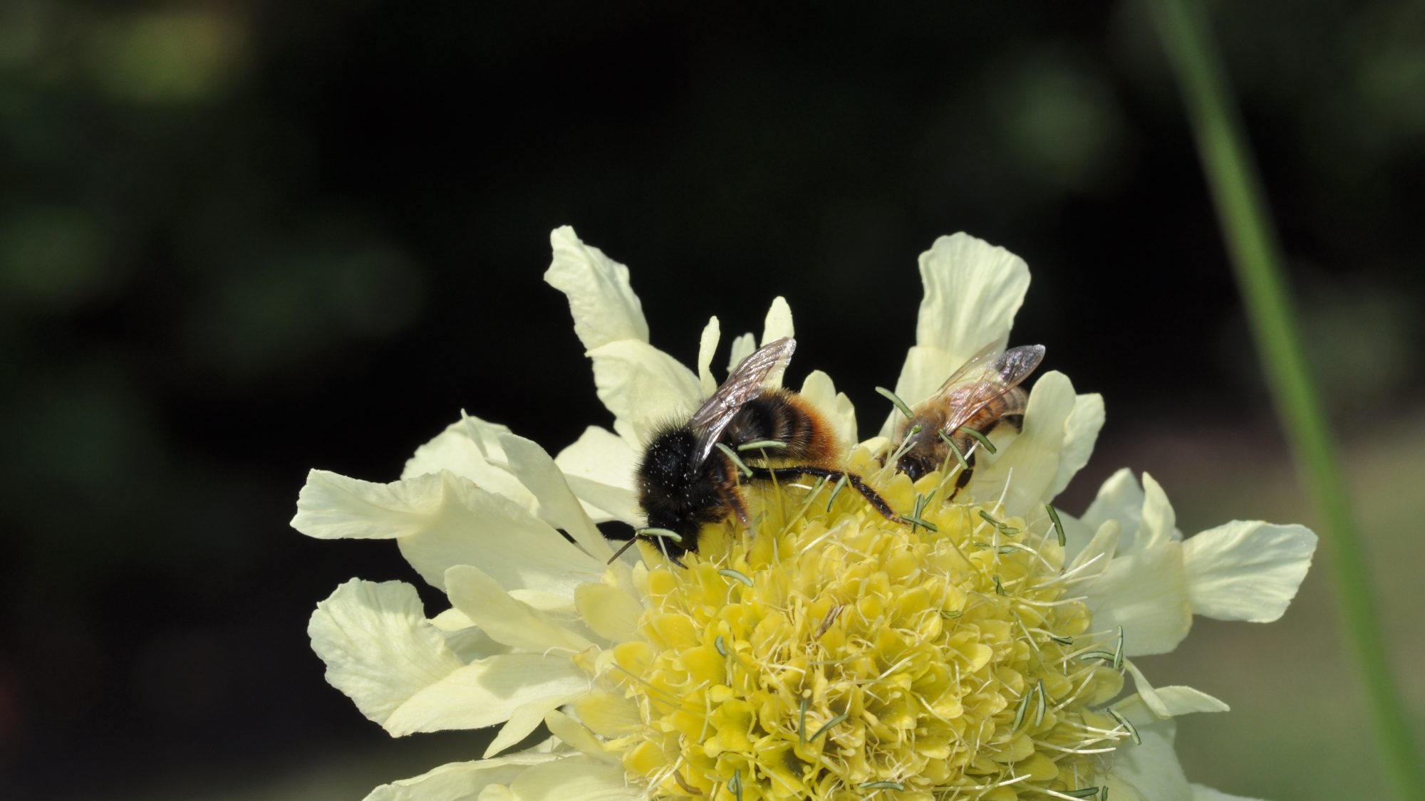 Two bees on a cream flower