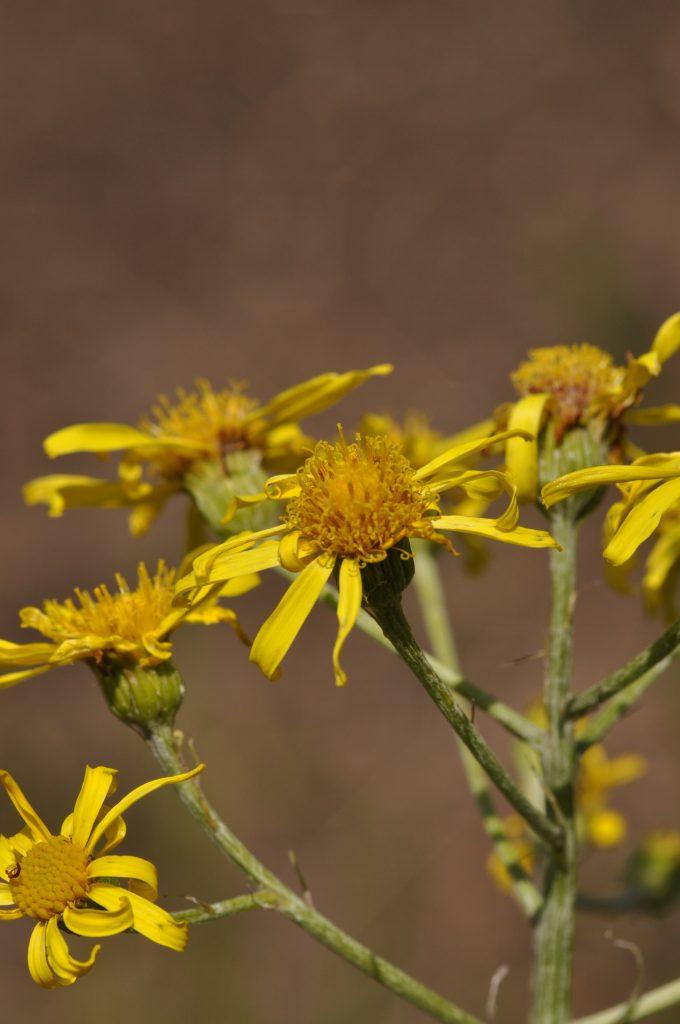 Senecio paludosus has a small, yellow bloom.