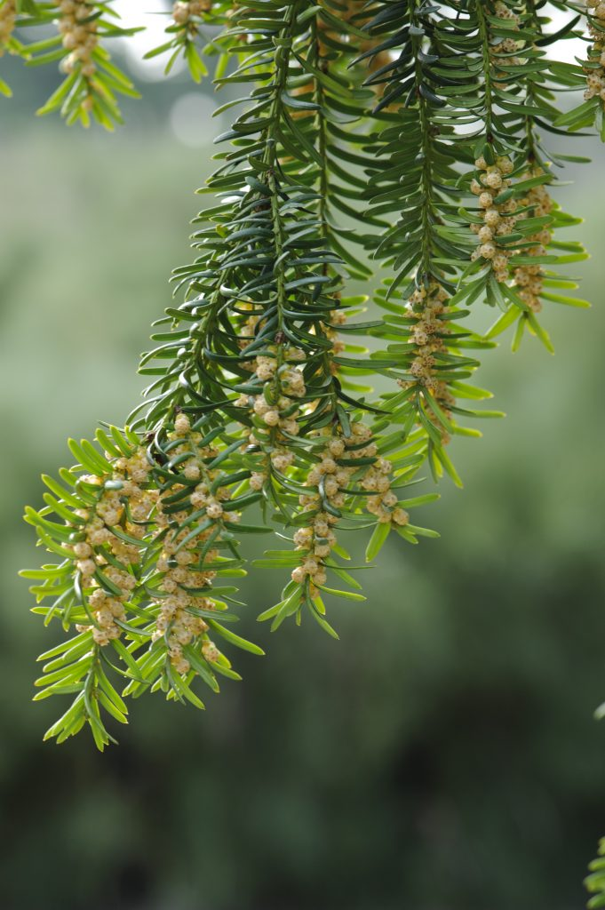 Taxus baccata branches with pollen.