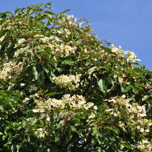 Hot summer brings rare Chinese tree into flower that has only previously flowered once in its 36 year life-time at the Garden
