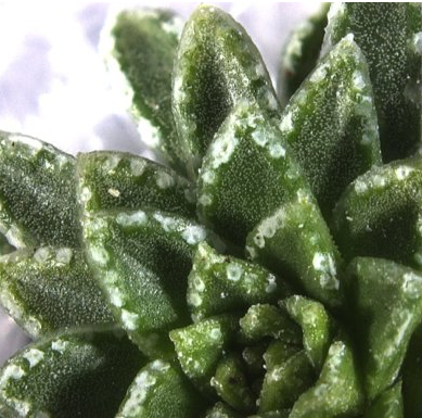 Close-up of the leaves of a Saxifraga scardica showing chalk glands (hydathodes) encrusted with vaterite and calcite