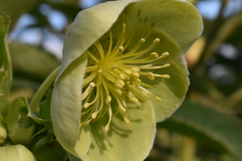 Pale yellow/green flower with round petals.