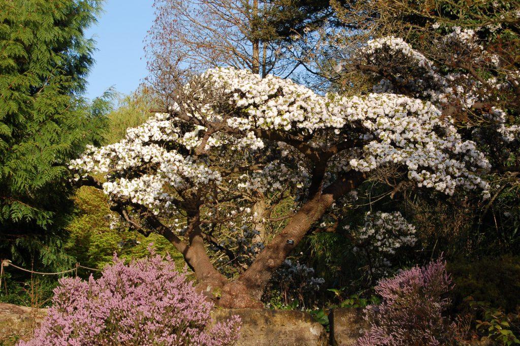 Prunus serrulata 'Alboplena'. Delicate blossom tree overlooking the lake.