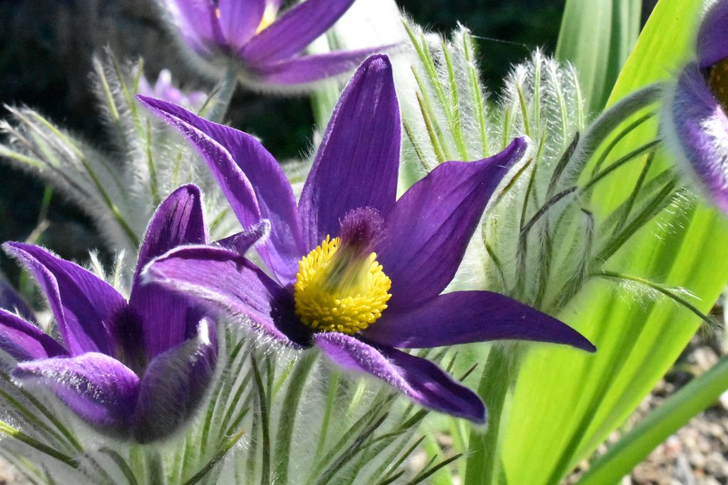 Pulsatilla vulgaris, beautiful deep purple flower with 6 pointed petals and soft downy stems and leaves.