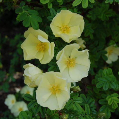 Rosa x cantabrigiensis