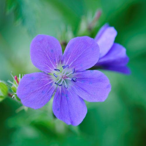 Geranium pratense 'Brookside'