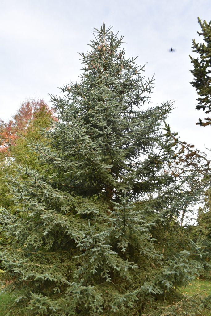 The endangered Spanish fir, Abies pinsapo