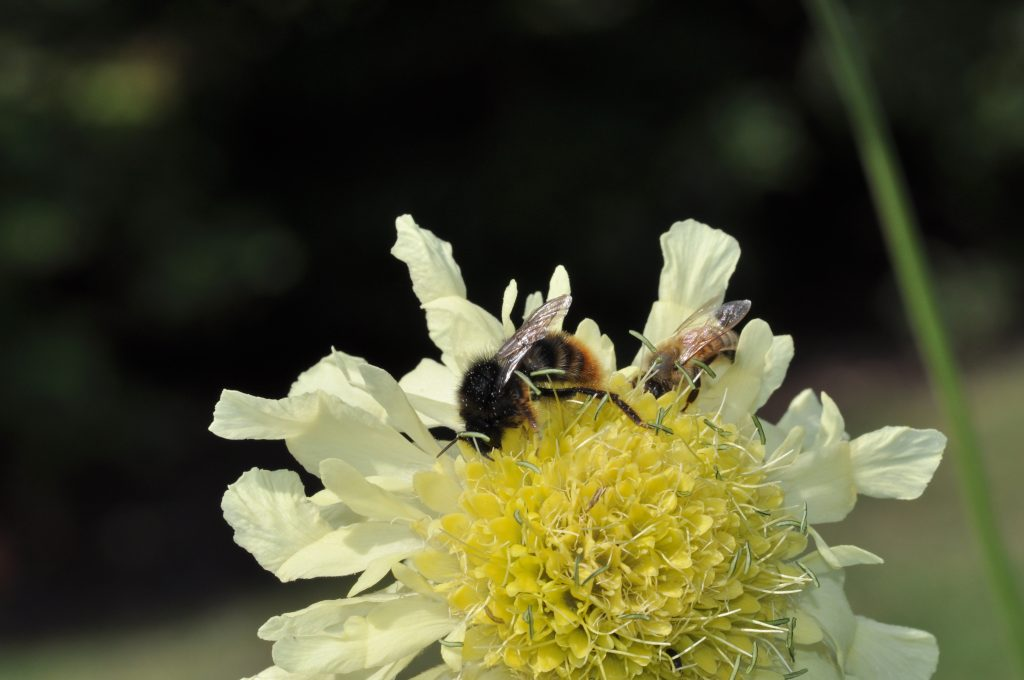 Two bees on the Cephalaria gigantea in the Herbaceous Island Beds.