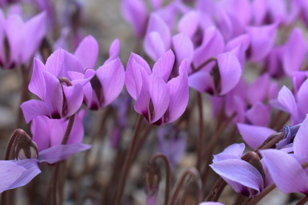 Cyclamen cilicium. Delicate purple blooms.
