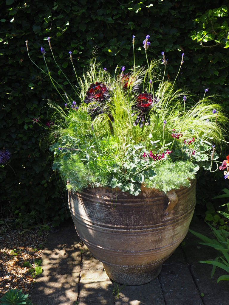 Aeonium 'Zwartkop' in a pot, alongside other drought-tolerant plants.