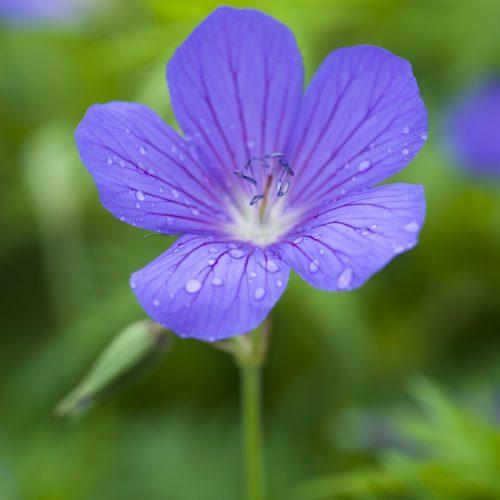 Geranium (species & primary hybrids)