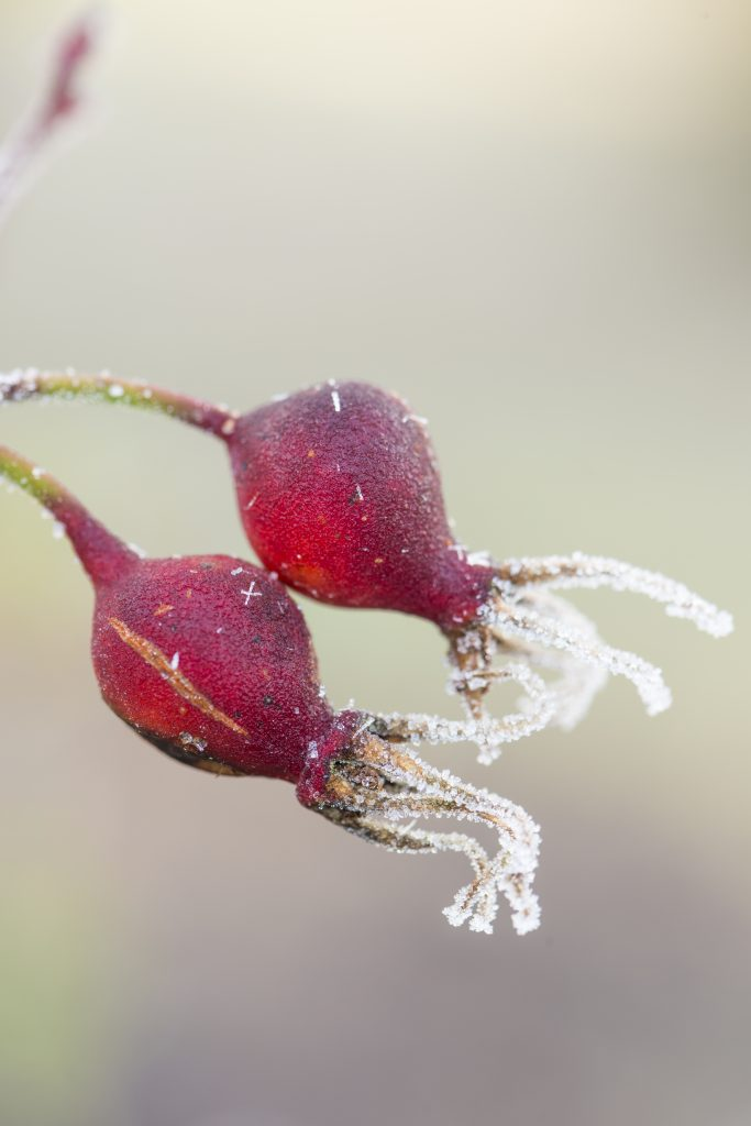 Rosa 'Cantab', red buds covered in frost.