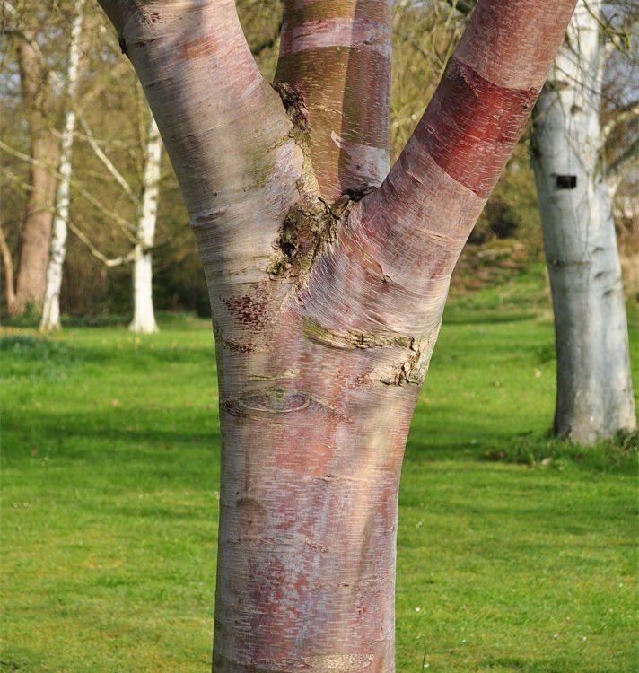 Betula utilis ssp. albo-sinensis