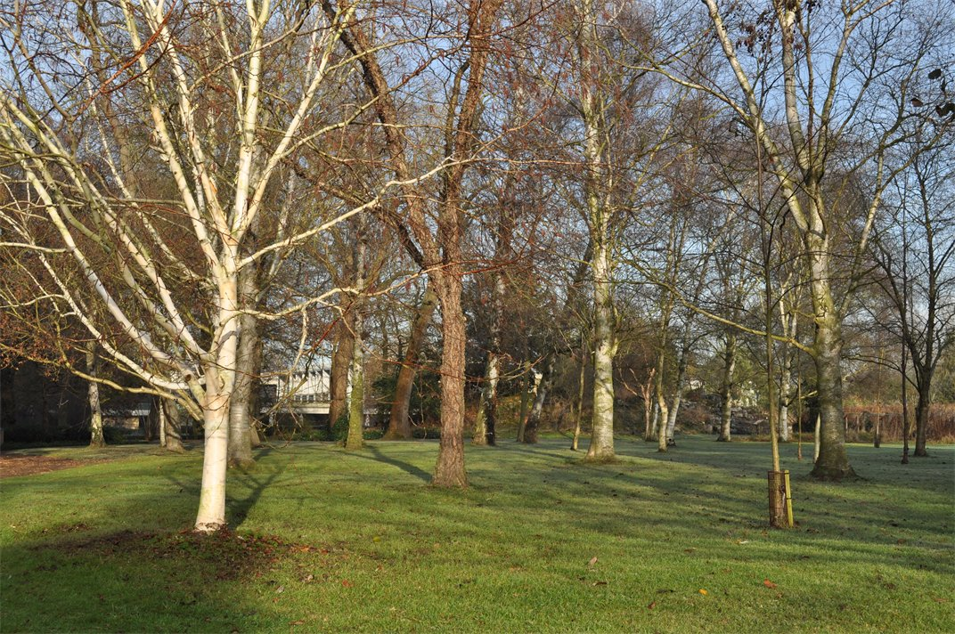 Collection of silver birch trees in winter