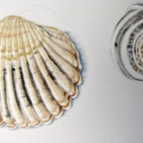FULLY BOOKED Illustrating natural history finds in coloured pencil