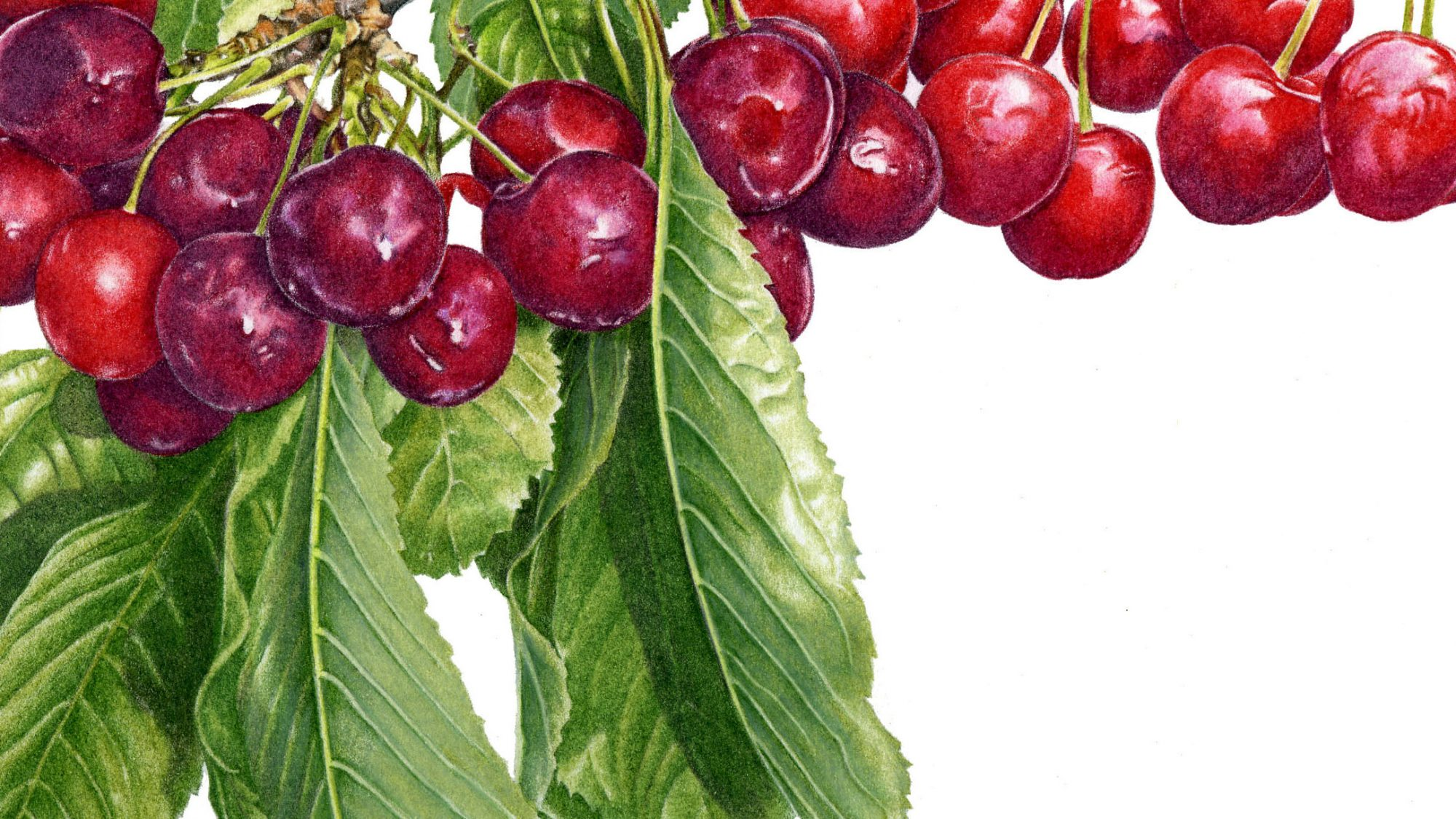 Branch of cherries and leaves