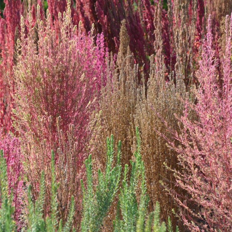 Amaranthus caudatus and the beet beds
