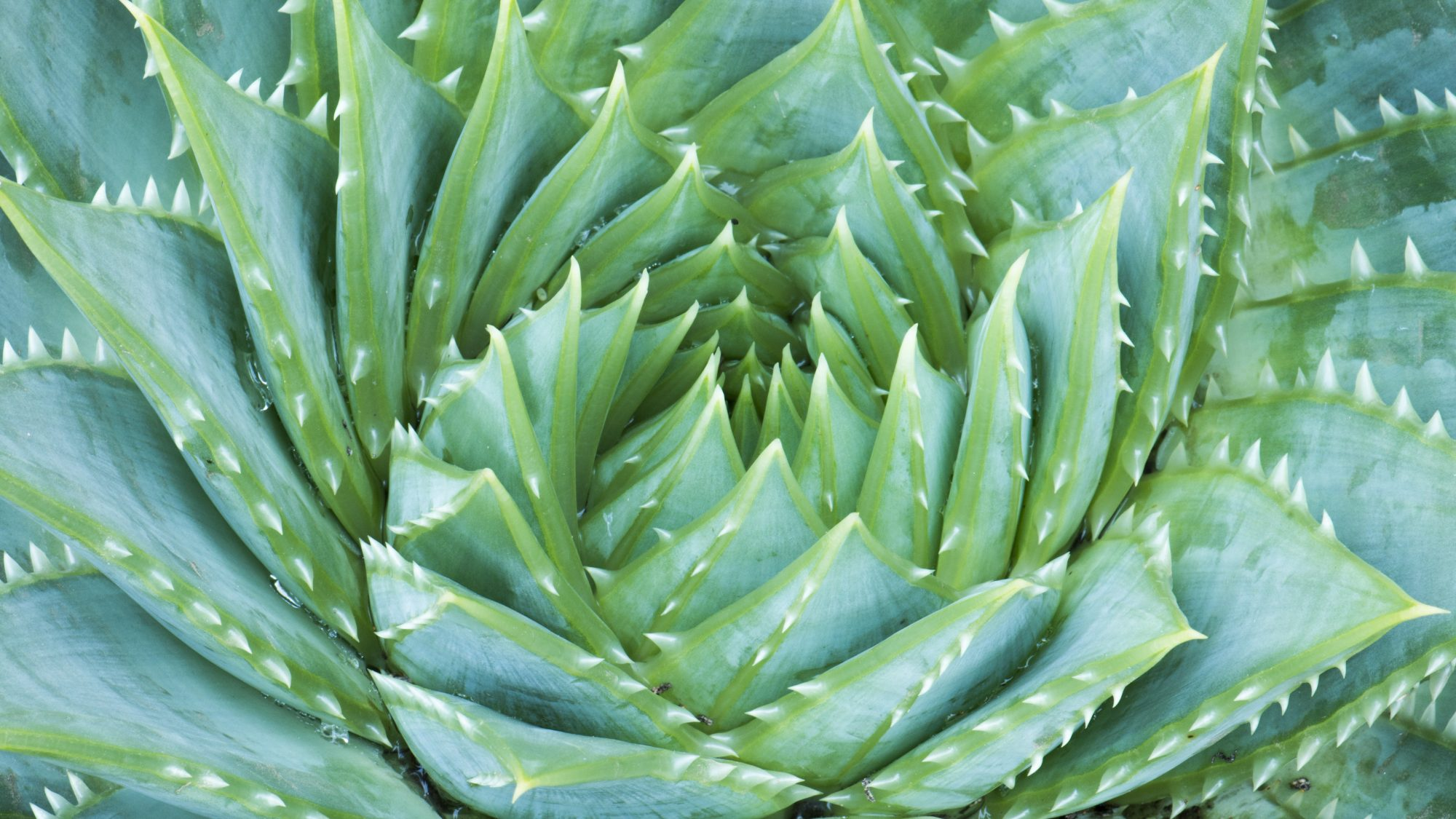 Aloe plant showing spiny spiral form in grey green