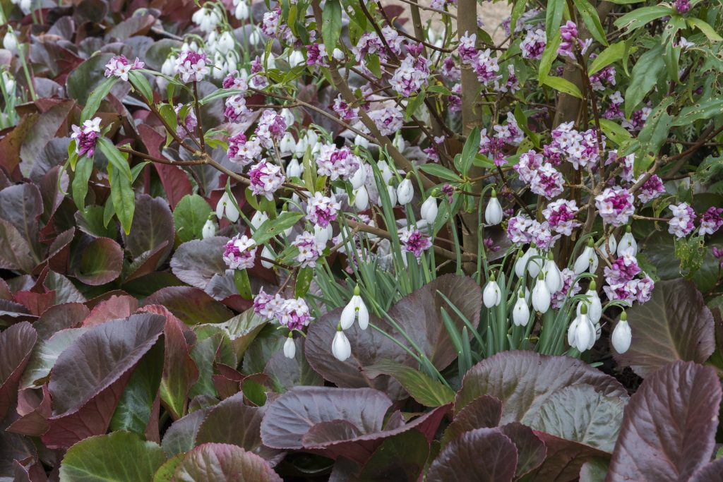Bergenia 'Overture' copuled with Daphne bholua 'jacqueline postill' and Galanthus nivalis in the in the Winter garden.
