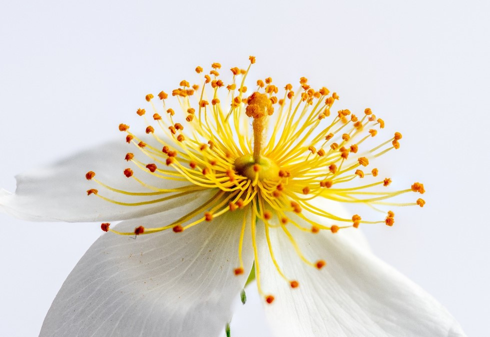 White petals with bright yellow stamens and orange tips