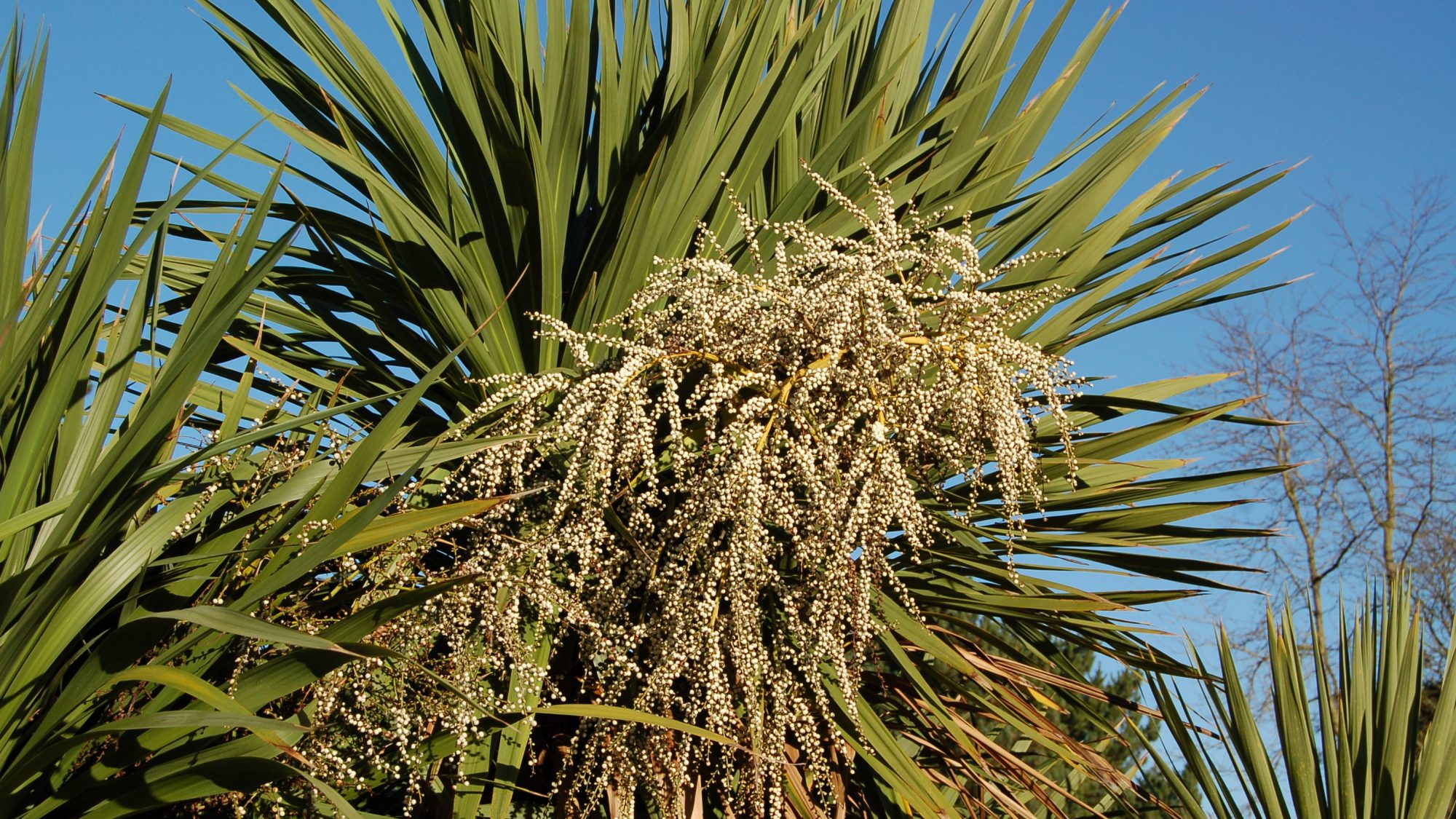 Flowering Cordyline Australis In Cornwall Uk This Palm Sometimes Known As The New Zealand Cabbage Tree Or Cabbage Palm Stock Photo Alamy