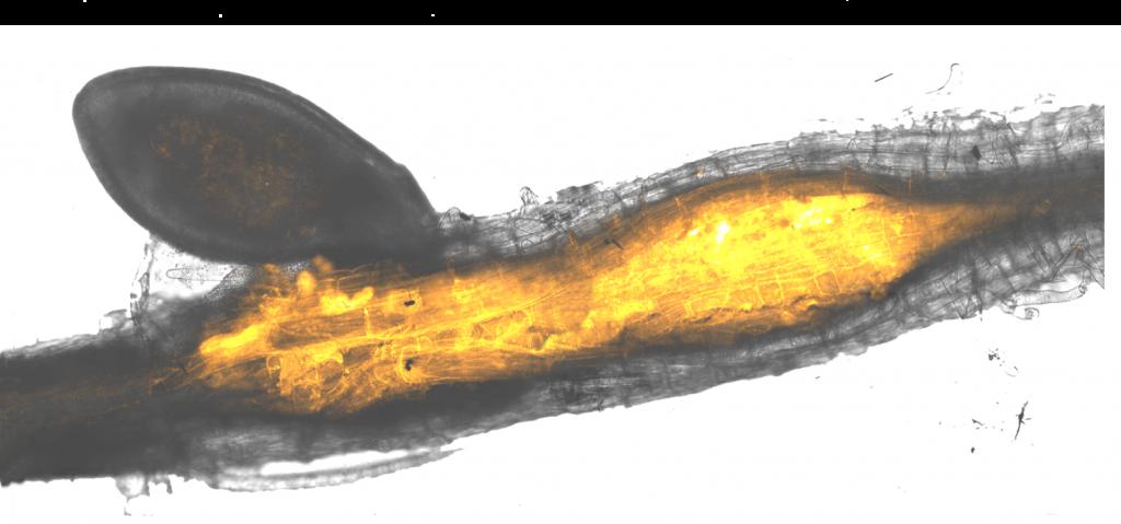 Parasitic nematode worms