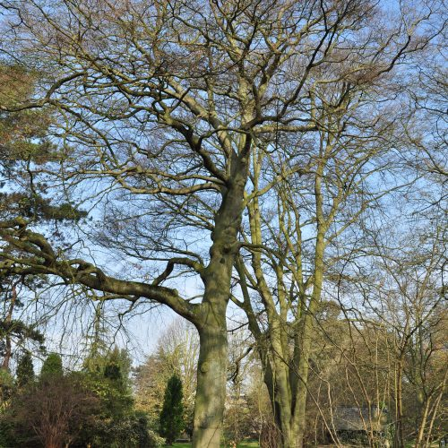 Common Beech and variants