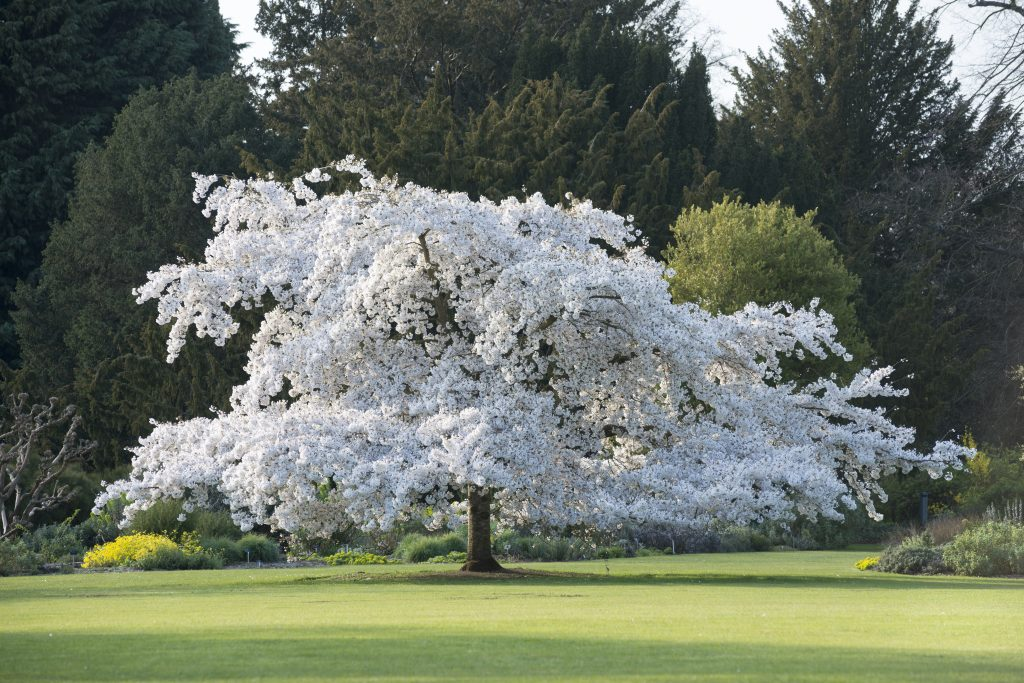 Prunus yedensis (cherry tree) on the Main Lawn.
