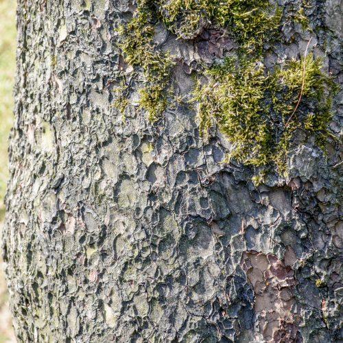 Single-leaf Nut Pine