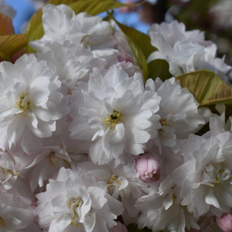 Prunus serrulata 'Alboplena'