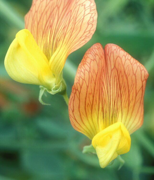 Lathyrus belinensis