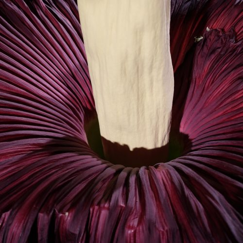 Watch timelapse film of Titus, our Titan Arum, grow