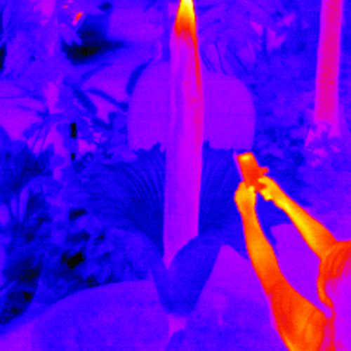 'Tiny' the titan arum heats up