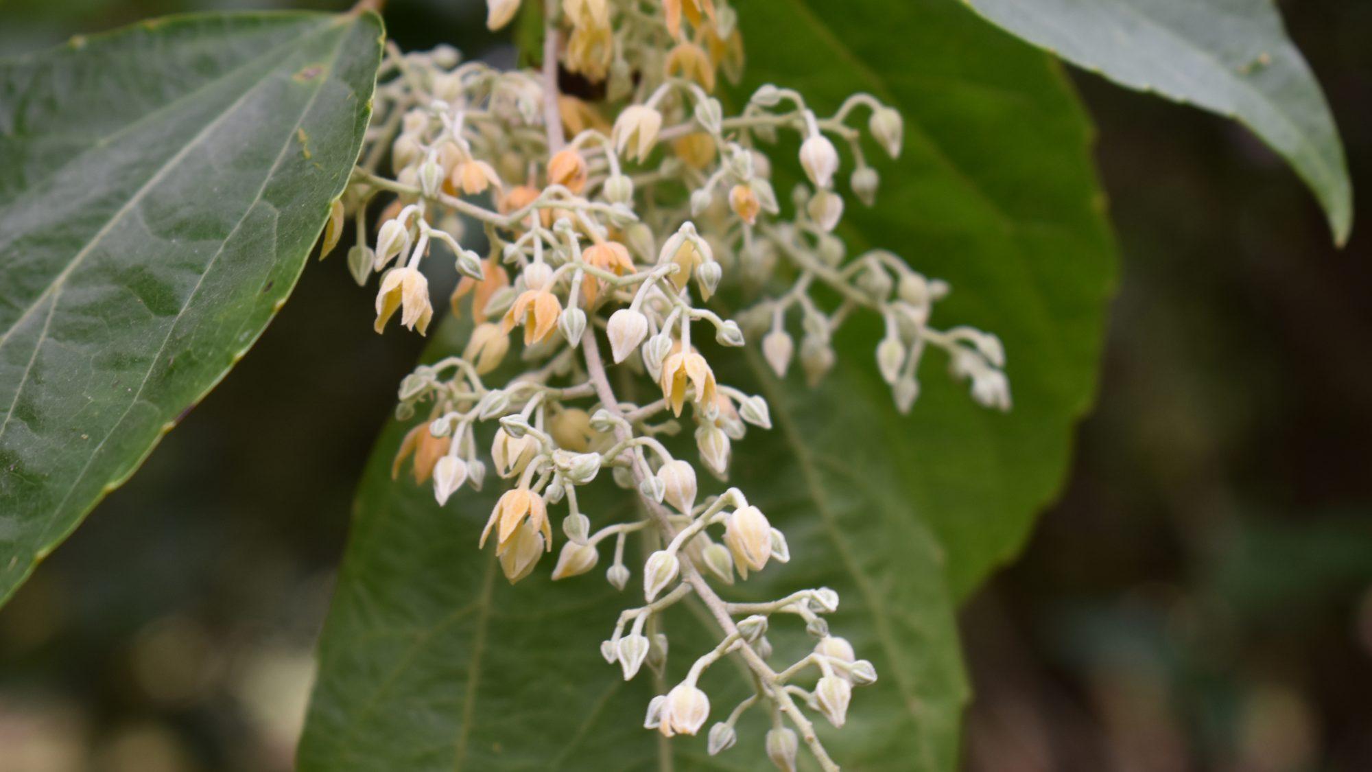 Poliothyrsis sinensis