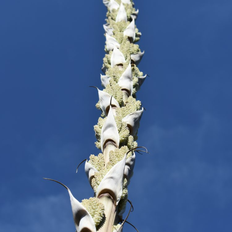 Dasylirion acrotrichum
