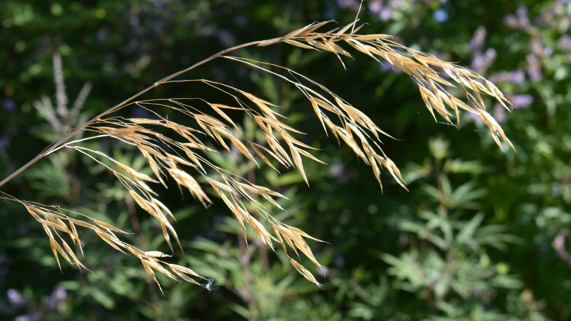 The massed stems of the giant oat are used to great effect here around the fountain.