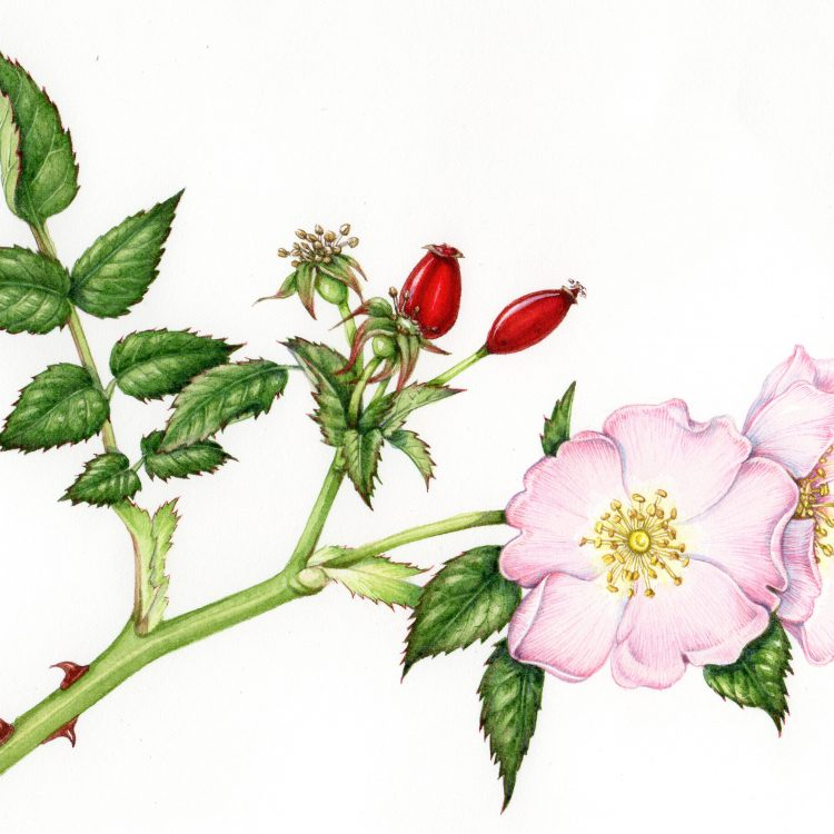 CANCELLED Botanical illustration for beginners: Painting flowers in summer