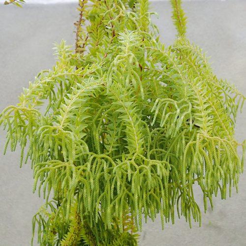 Huperzia phlegmaria
