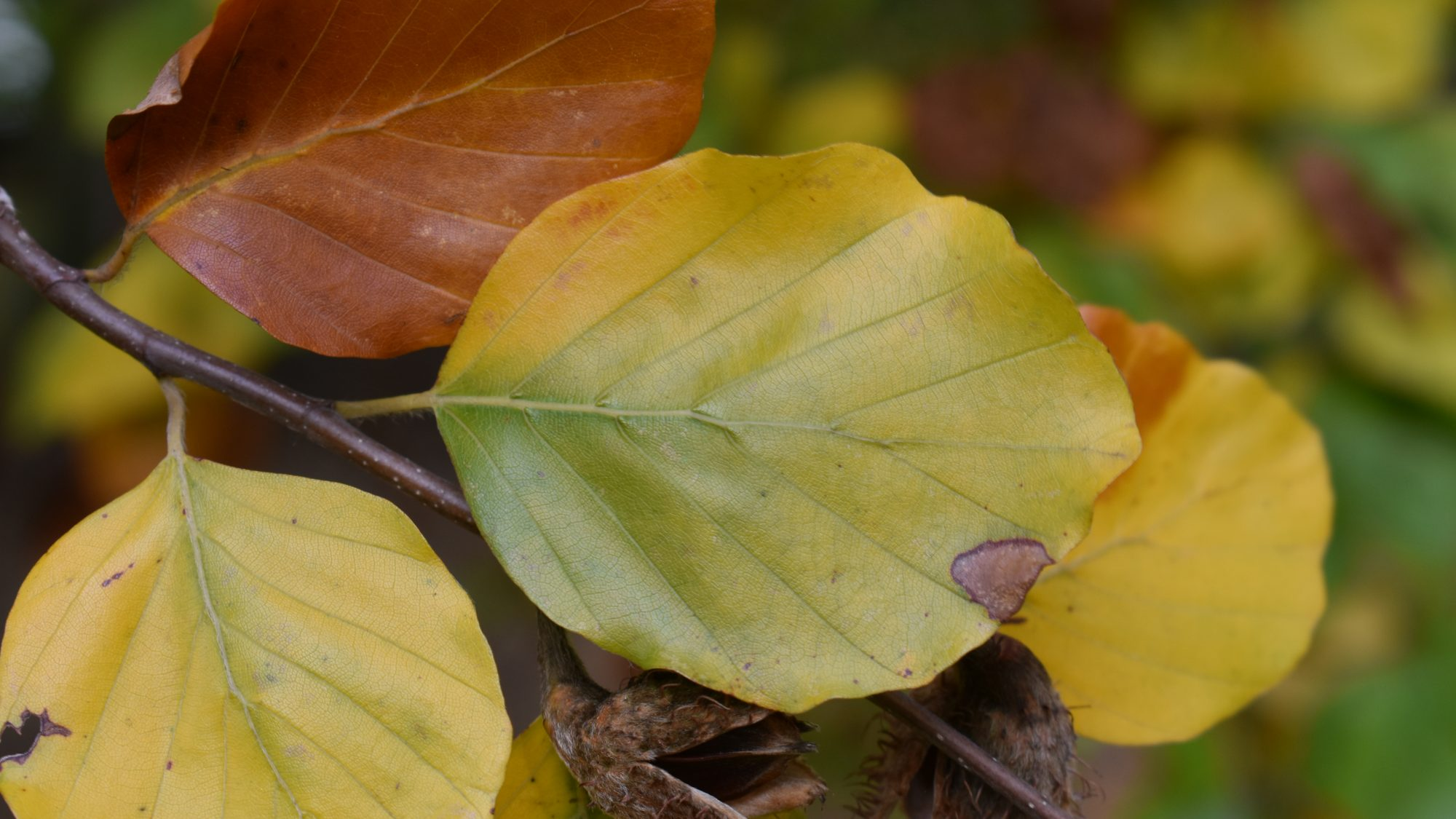 Fagus sylvatica 'Miltonensis'