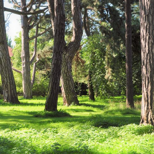 Old Pinetum