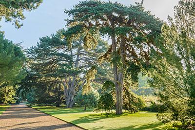 Pinus nigra on the Main Walk