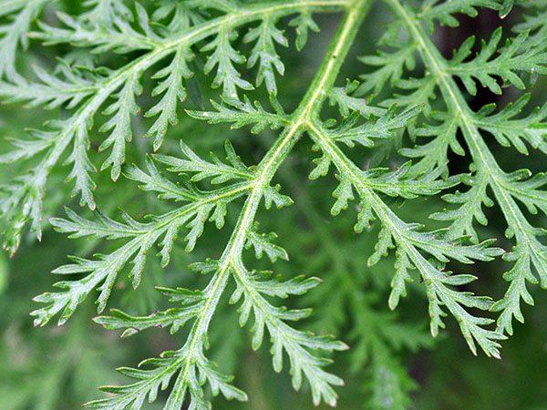 Sweet Wormwood (Artemisia annua)