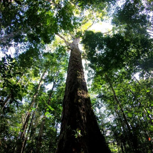 Expedition finds the tallest tree in the Amazon