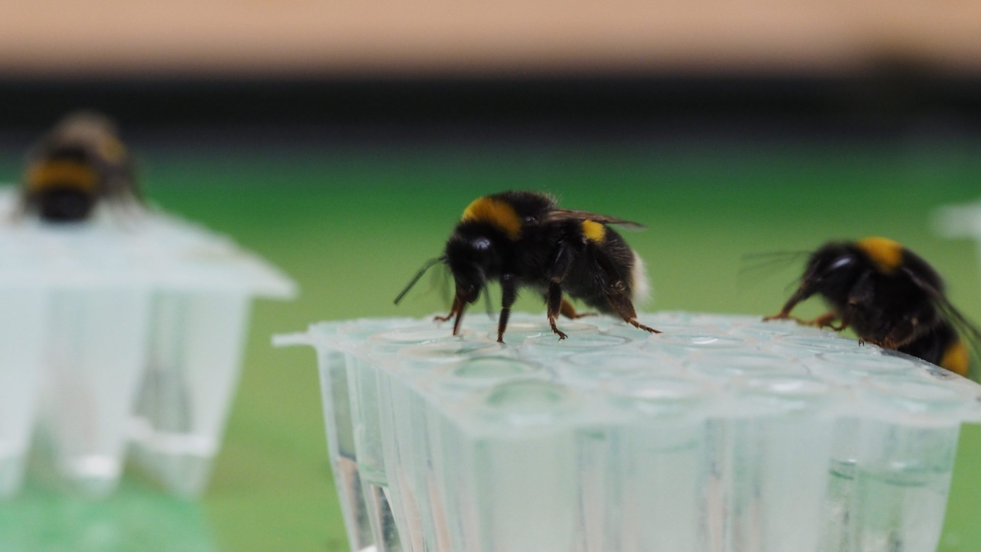 Bumblebees drink nectar from flowers.