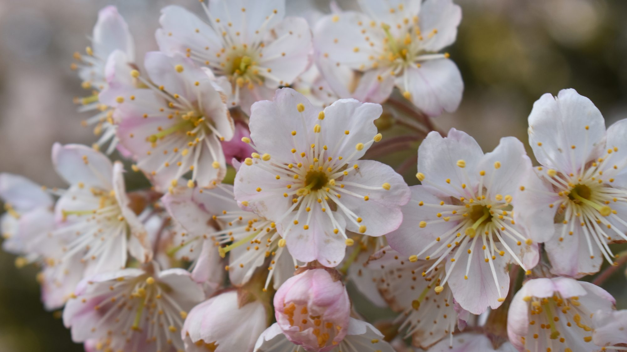 Prunus pseudocerasus var. cantabrigiensis